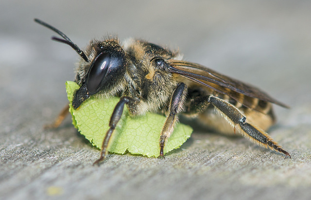 bee-friendly-garden-rodger-evans-leaf-cutter-bee