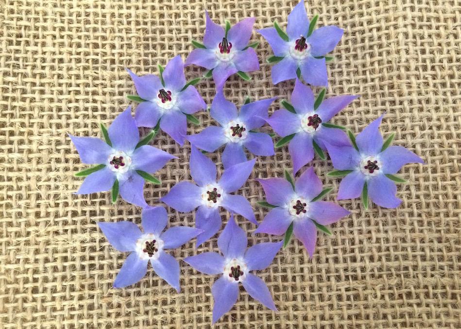edible-flowers-borage