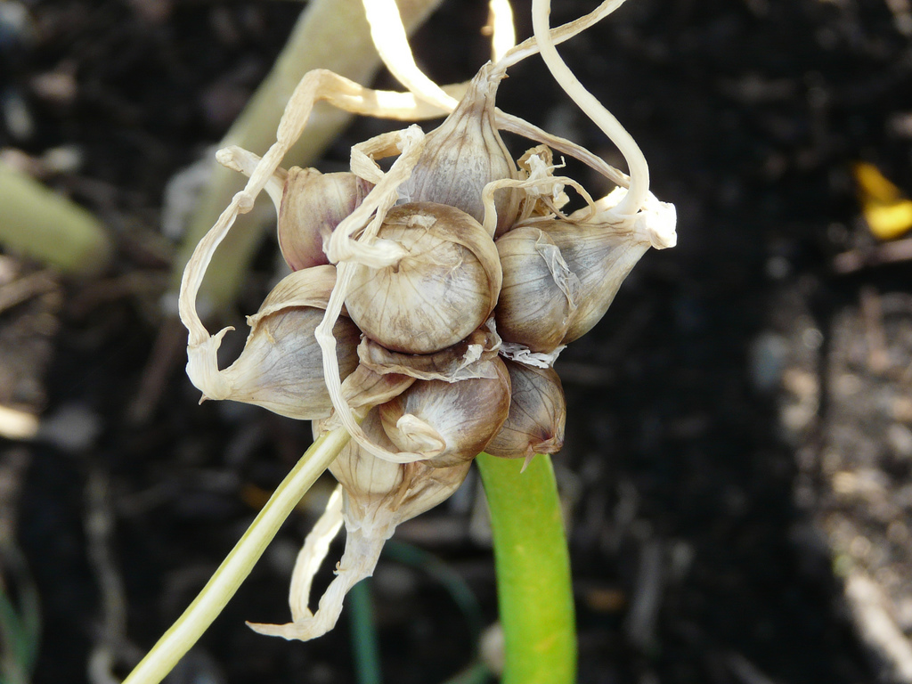 egyptian-walking-onions2
