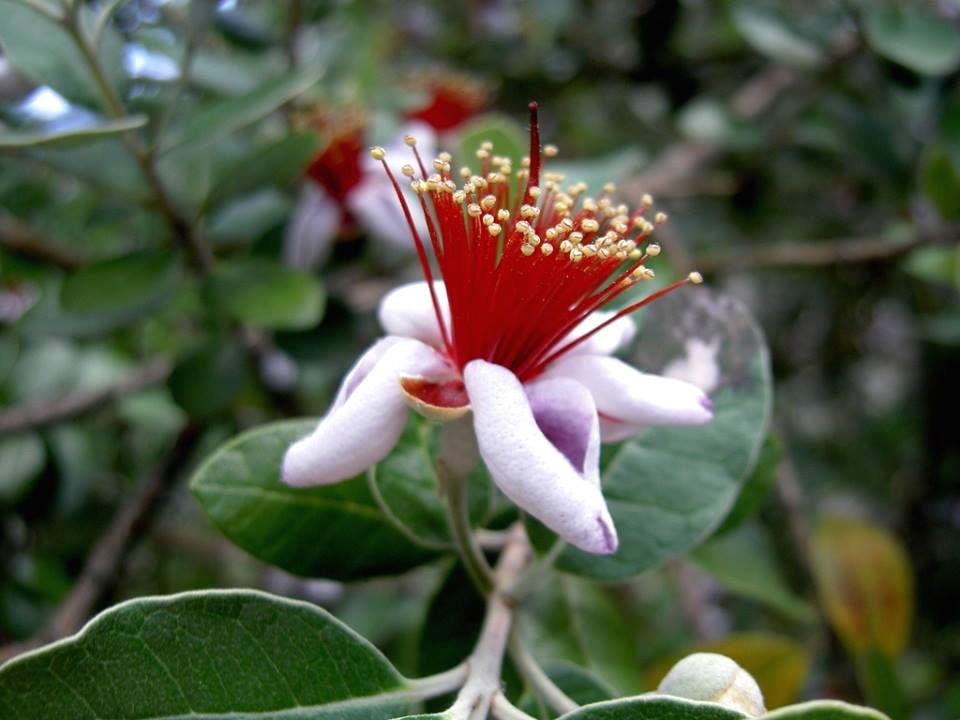 feijoa-edible-flowers