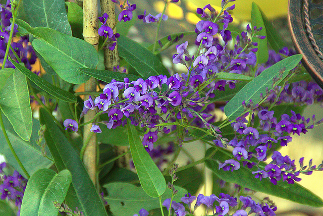 flowers_for_native_bees_hardenbergia_manuel