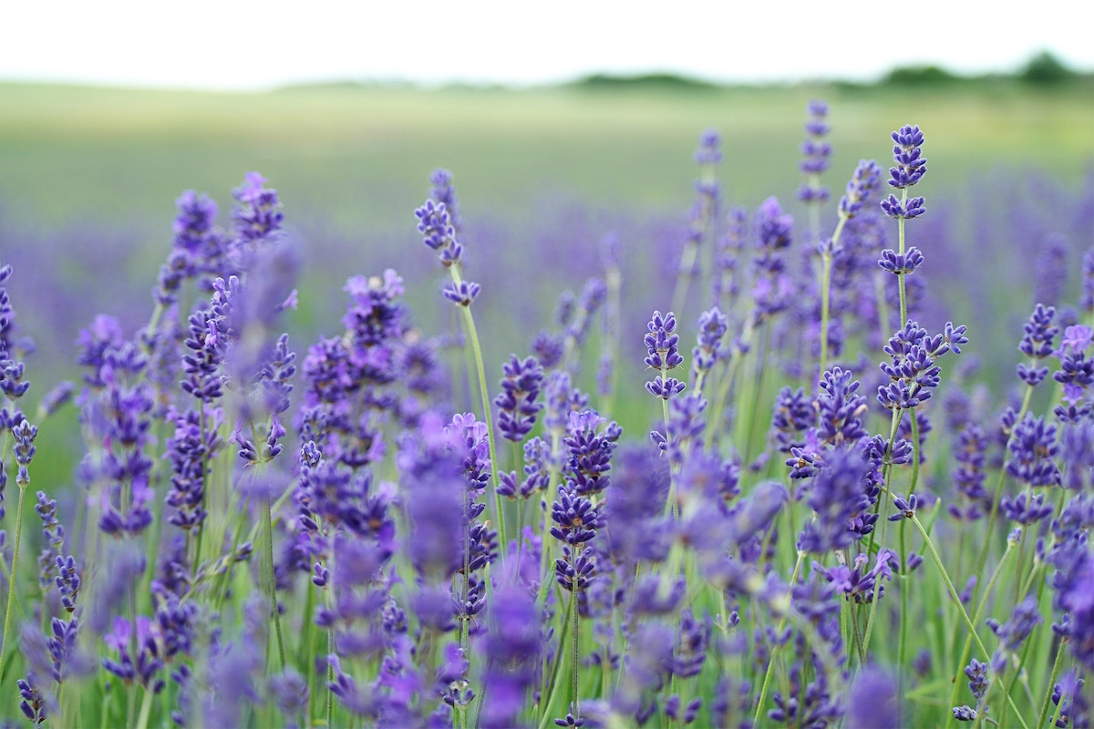flowers_for_native_bees_lavender_unsplash