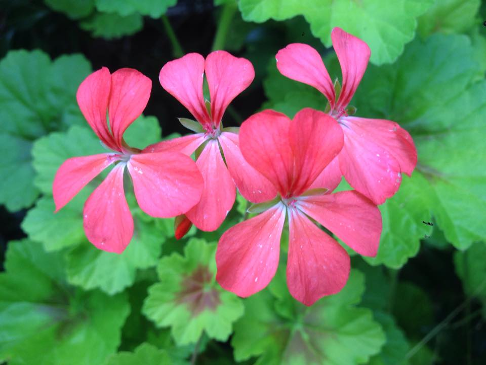 geranium-edible-flower