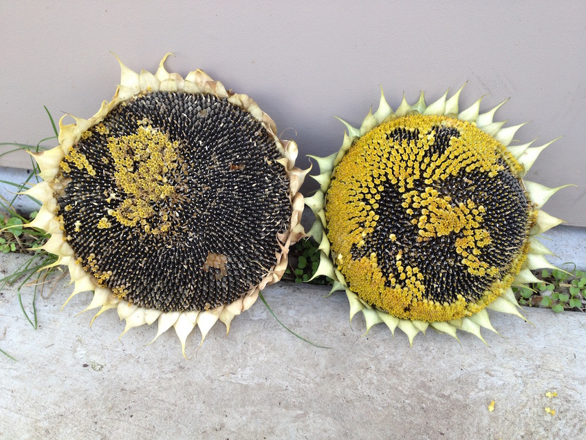 grow-your-own-sunflowers-seeds