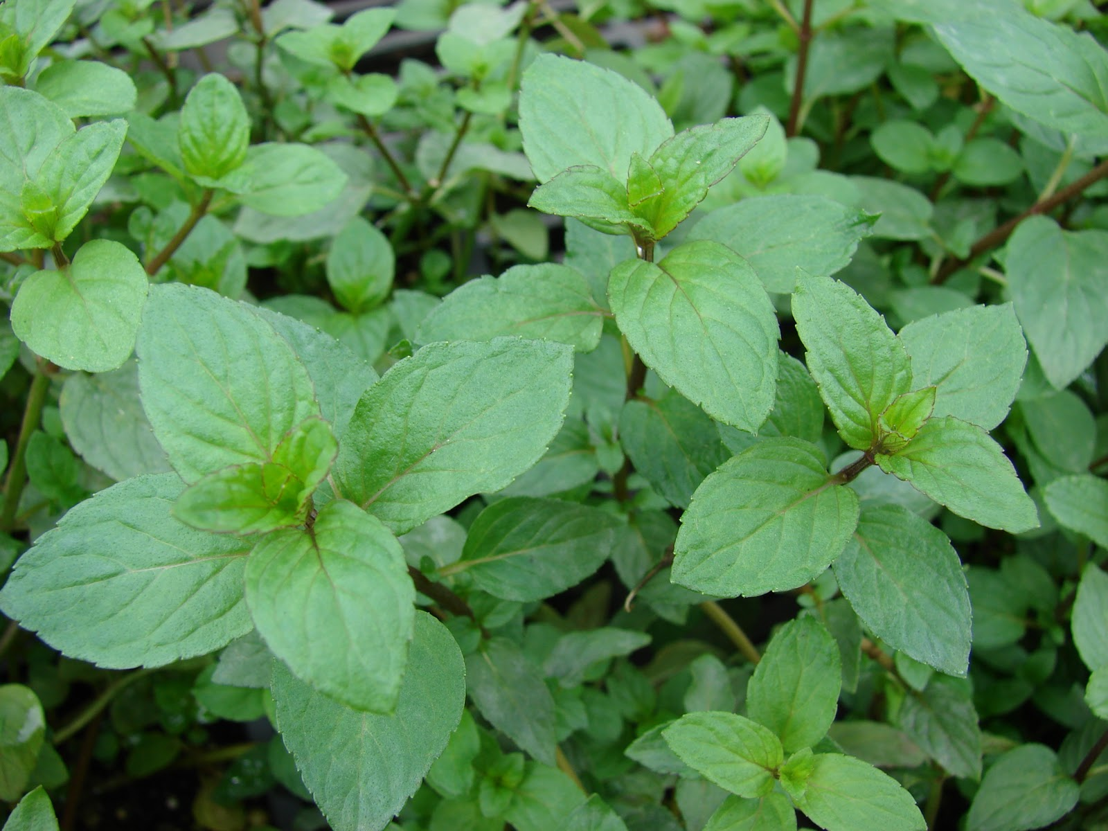 grow_your_own_mint_peppermint_anna