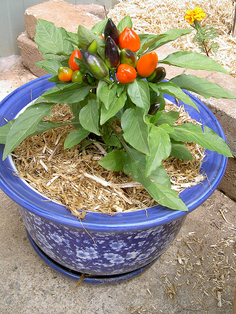growing-chillies-tips-5