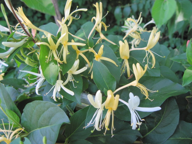 honeysuckle_grow-me-instead_michelle-a-flickr