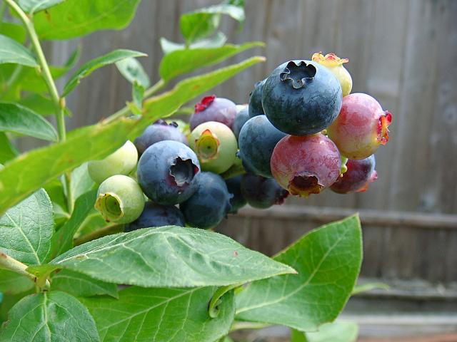 how-to-grow-blueberries-juliana_su_2