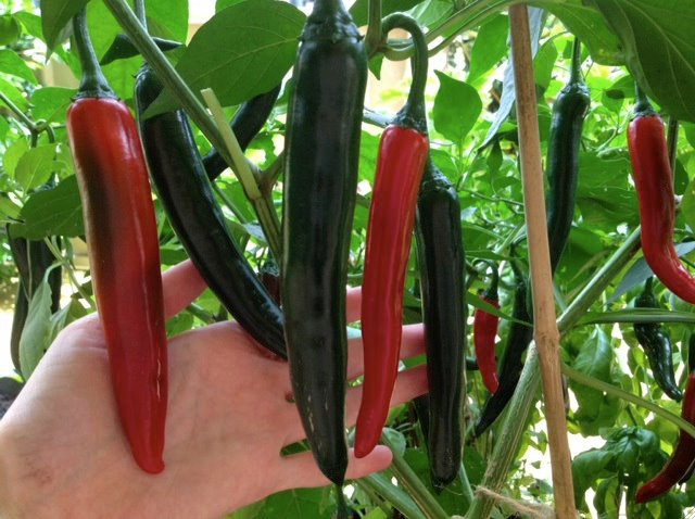 how-to-grow-chillies-at-home-2