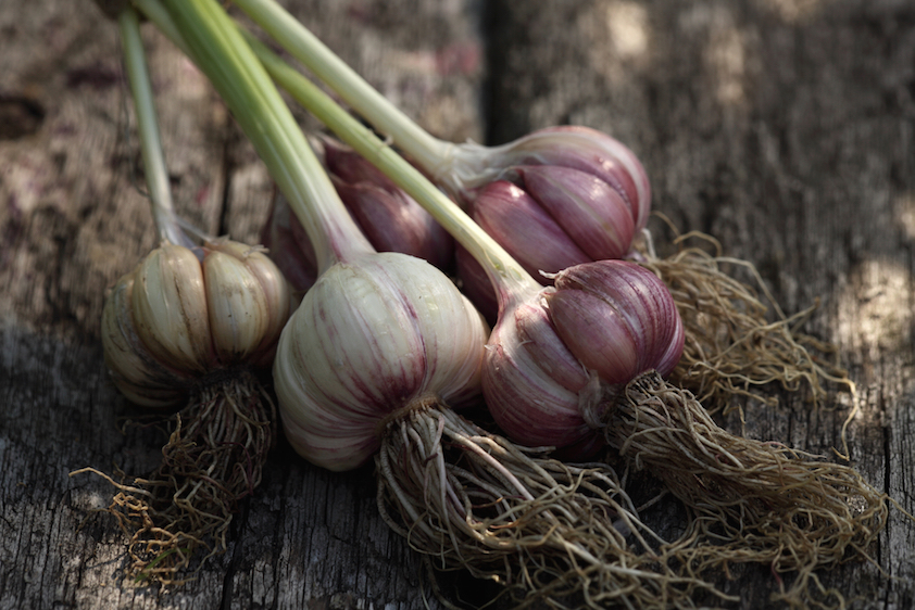 how-to-grow-garlic-banner-st