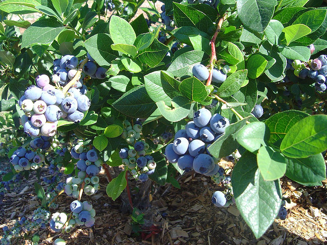 how_do_you_grow_blueberries_duncan_mackenzie