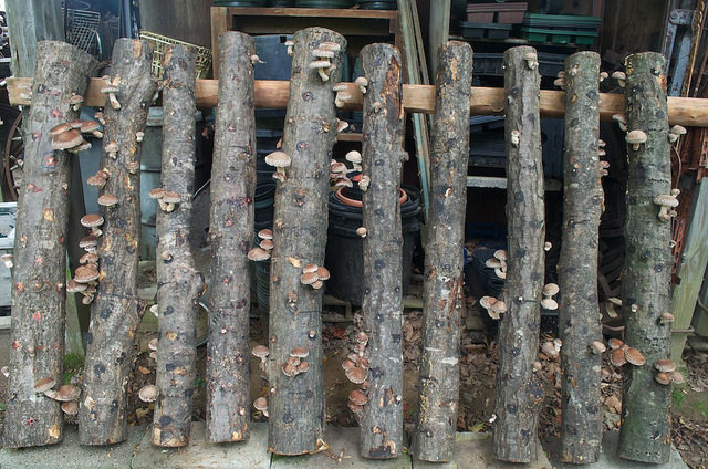 how_to_grow_your-own_mushroomsshiitake_logs_distant_hill_gardens_zdknz8t