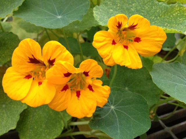 nasturtium-edible-flower