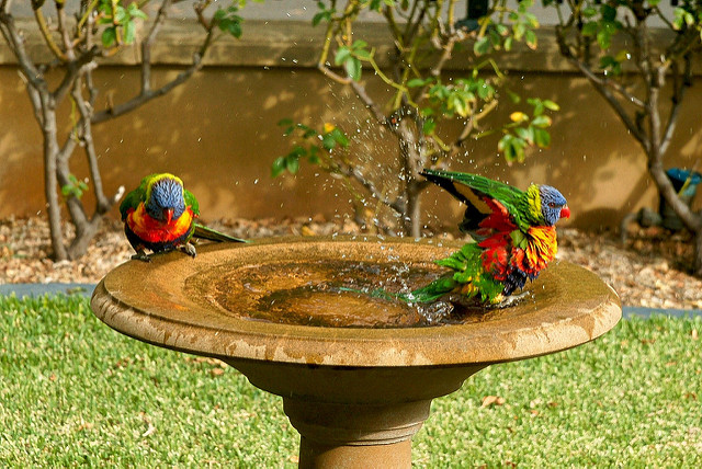attracting-native-birds-to-your-backyard-bird-bath-lorikeets