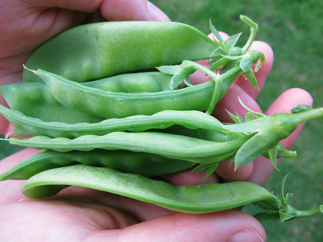 how-to-grow-snow-peas-essie